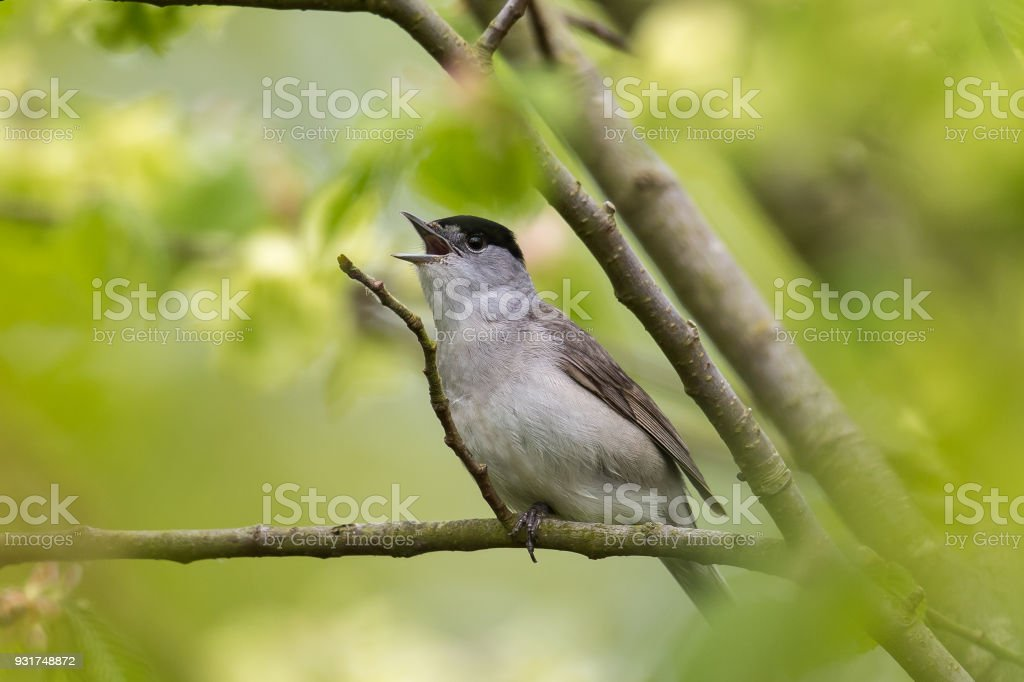 Male Blackcap singing in spring stock photo