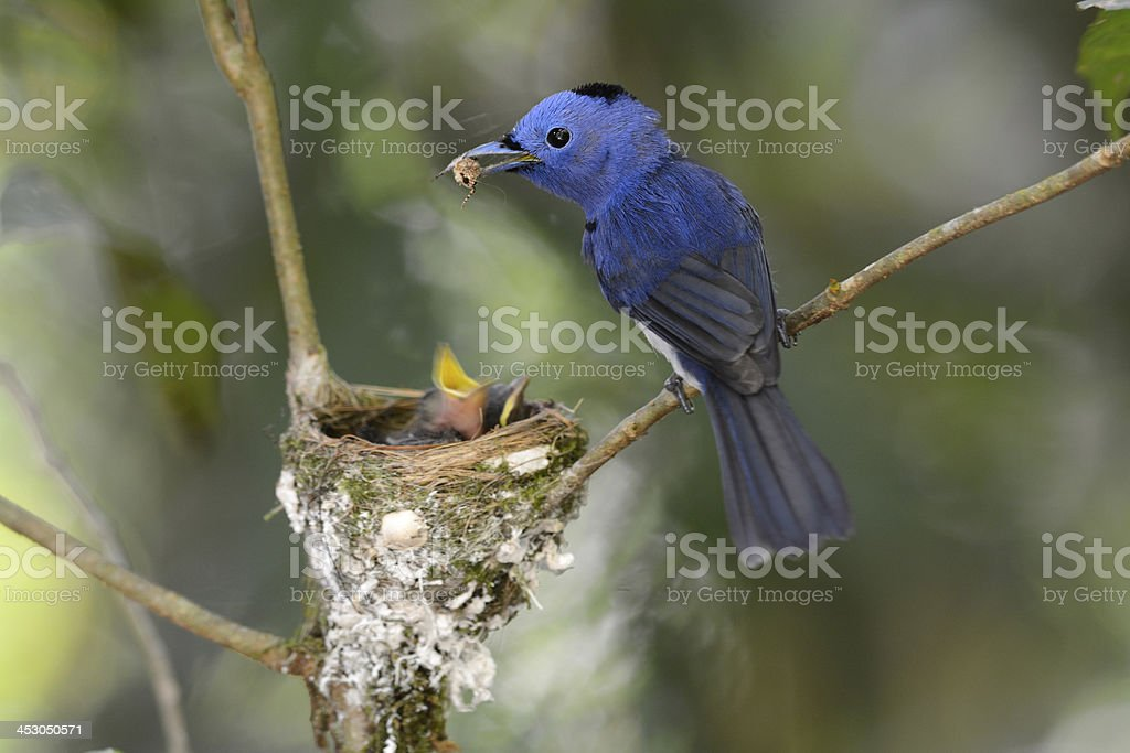 male black-nape monarch beautiful male black-nape monarch (Hypothymis azurea) protecting his youngs Animal Stock Photo