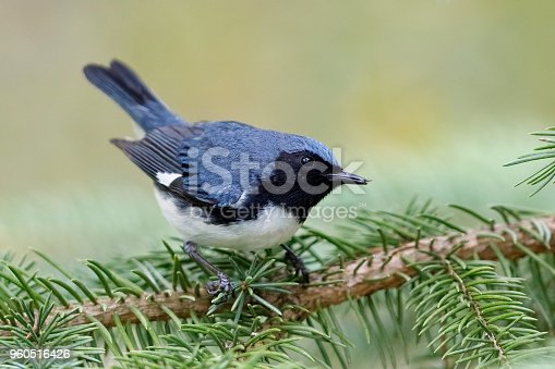 istock Male Black-throated Blue Warbler perched on a white spruce branch 960516426