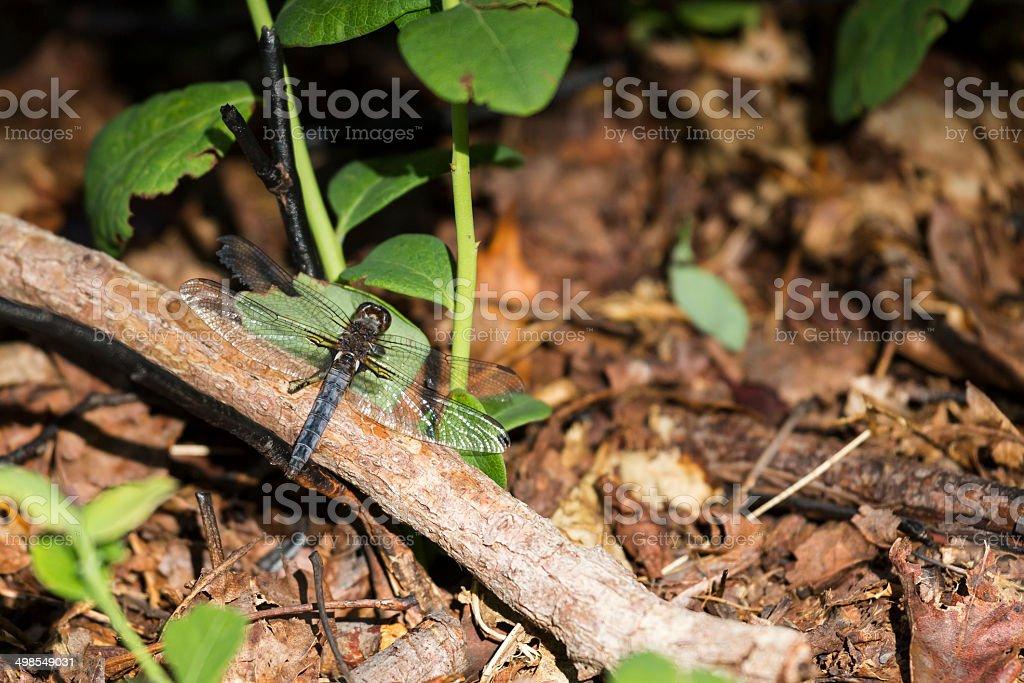 Male Blue Corporal Dragonfly (Ladona deplanata) royalty-free stock photo