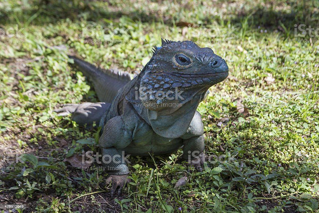Male Blue Iguana in Shade stock photo