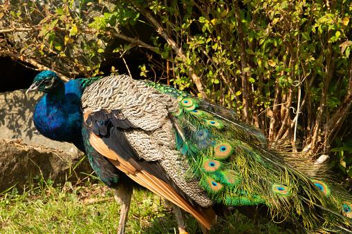 male blue peafowl