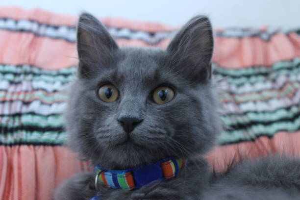 Best Russian Blue Cat Stock Photos, Pictures & Royalty-Free