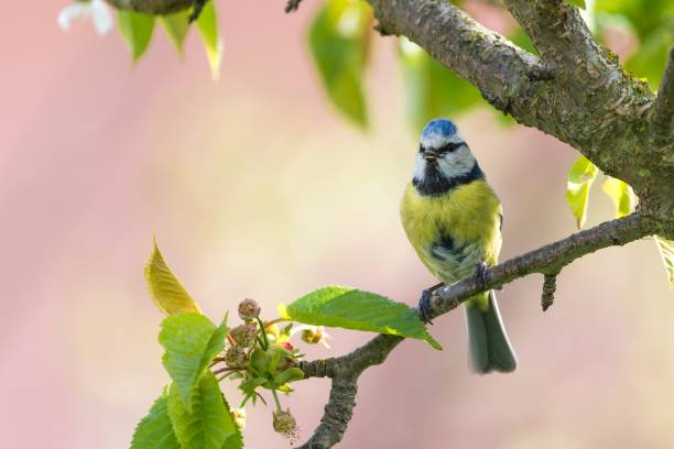 Male blue tit sings on cherry tree_ stock photo
