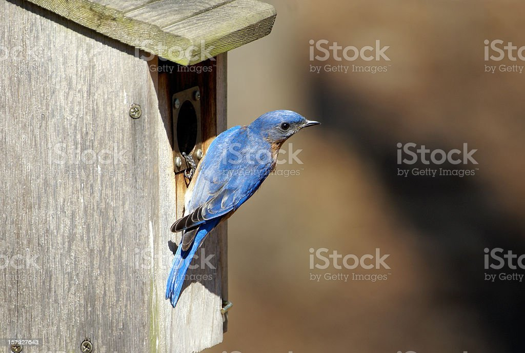 Male Bluebird at Nesting Box royalty-free stock photo