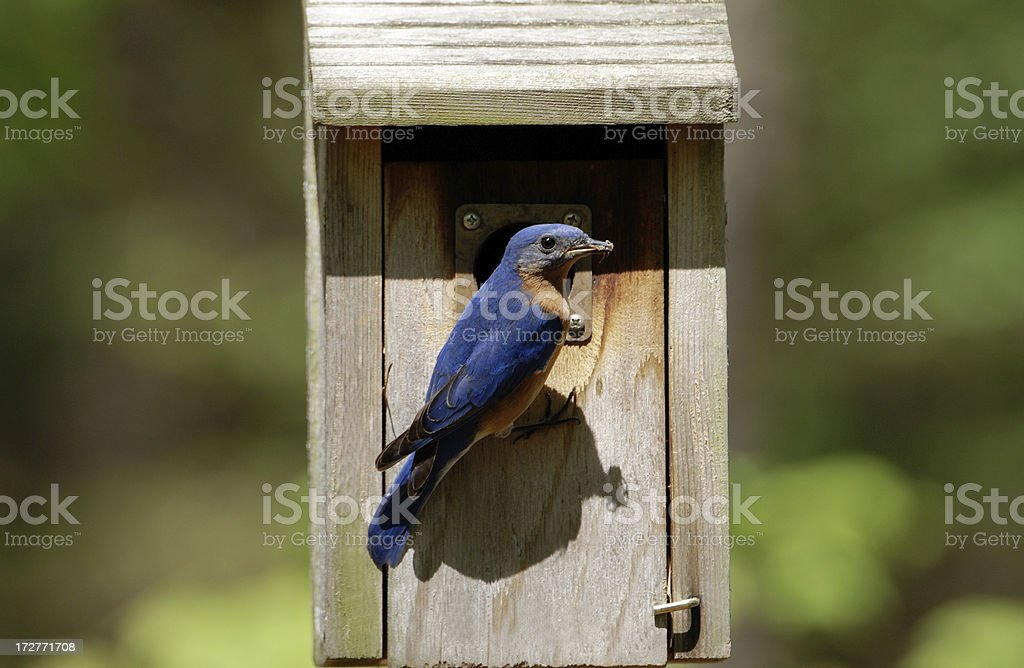 Male Bluebird Bringing Food to Newborns royalty-free stock photo