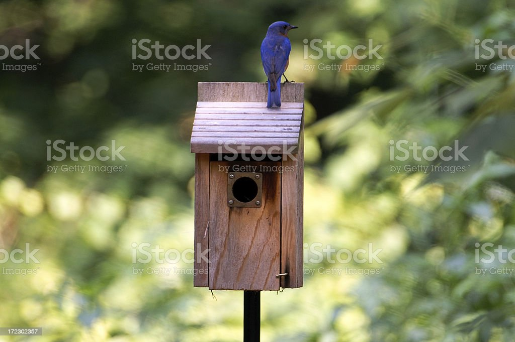Male Bluebird Guarding House royalty-free stock photo