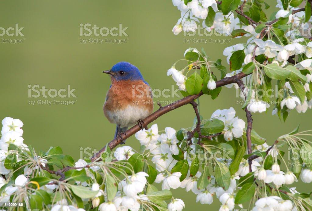 Male Bluebird in White Blossoms stock photo