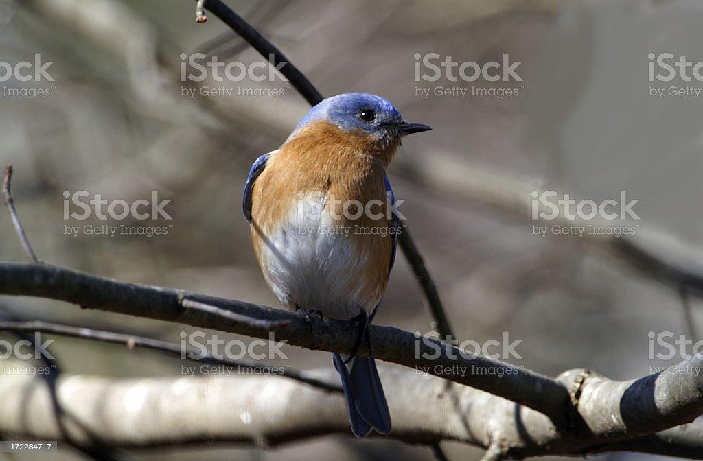 Male Bluebird on Branch royalty-free stock photo