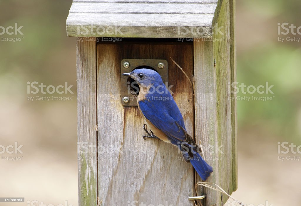 Male Bluebird Outside Nesting Box royalty-free stock photo