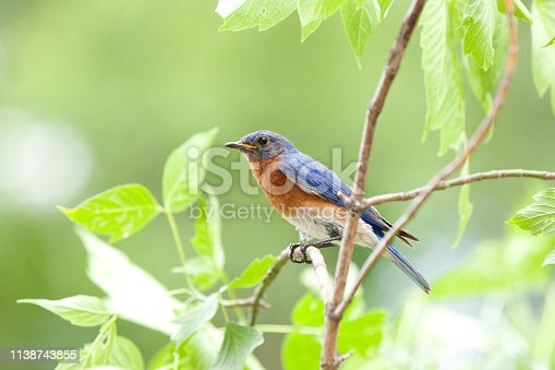 Male Bluebird Sitting on a Branch In Nature