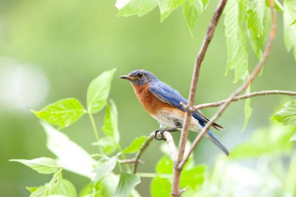 Männliche Bluebird sitzt auf einer Zweigstelle in der Natur – Foto