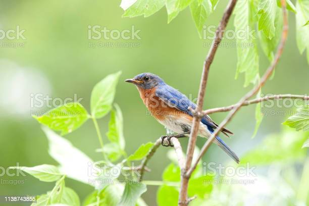 Photo of Male Bluebird Sitting on a Branch in Nature