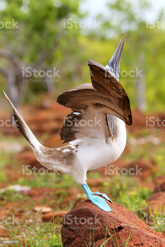 Male Blue-footed Booby displaying on North Seymour Island, Galap stock photo