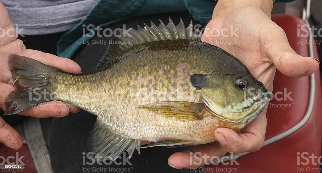 Male Bluegill royalty-free stock photo