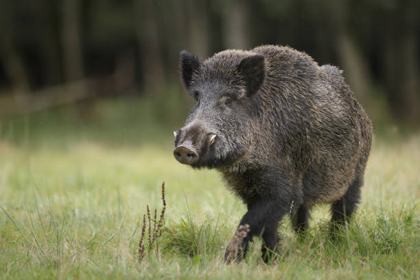 Male boar in meadow A fine male boar in a German forest wild boar stock pictures, royalty-free photos & images