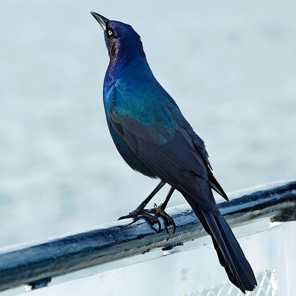 Male boat-tailed grackle. stock photo