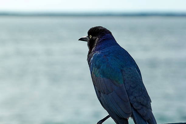 Male Boat-Tailed Grackle stock photo