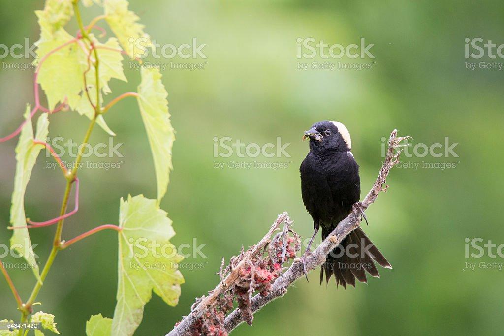 Male Bobolink stock photo