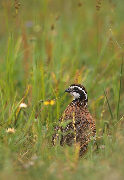 mâle bobwhite quail de mauvaises herbes - colin photos et images de collection