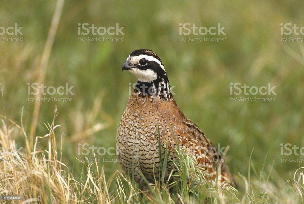 Male bobwhite quail sitting in grass stock photo