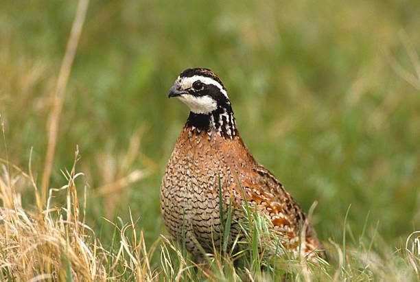 mâle bobwhite quail - colin photos et images de collection