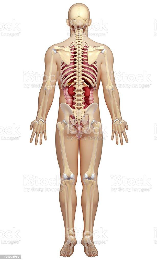 male body highlights kidney royalty-free stock photo