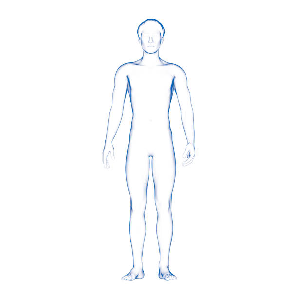 male body illustration, human - human body 3d stock photos and pictures