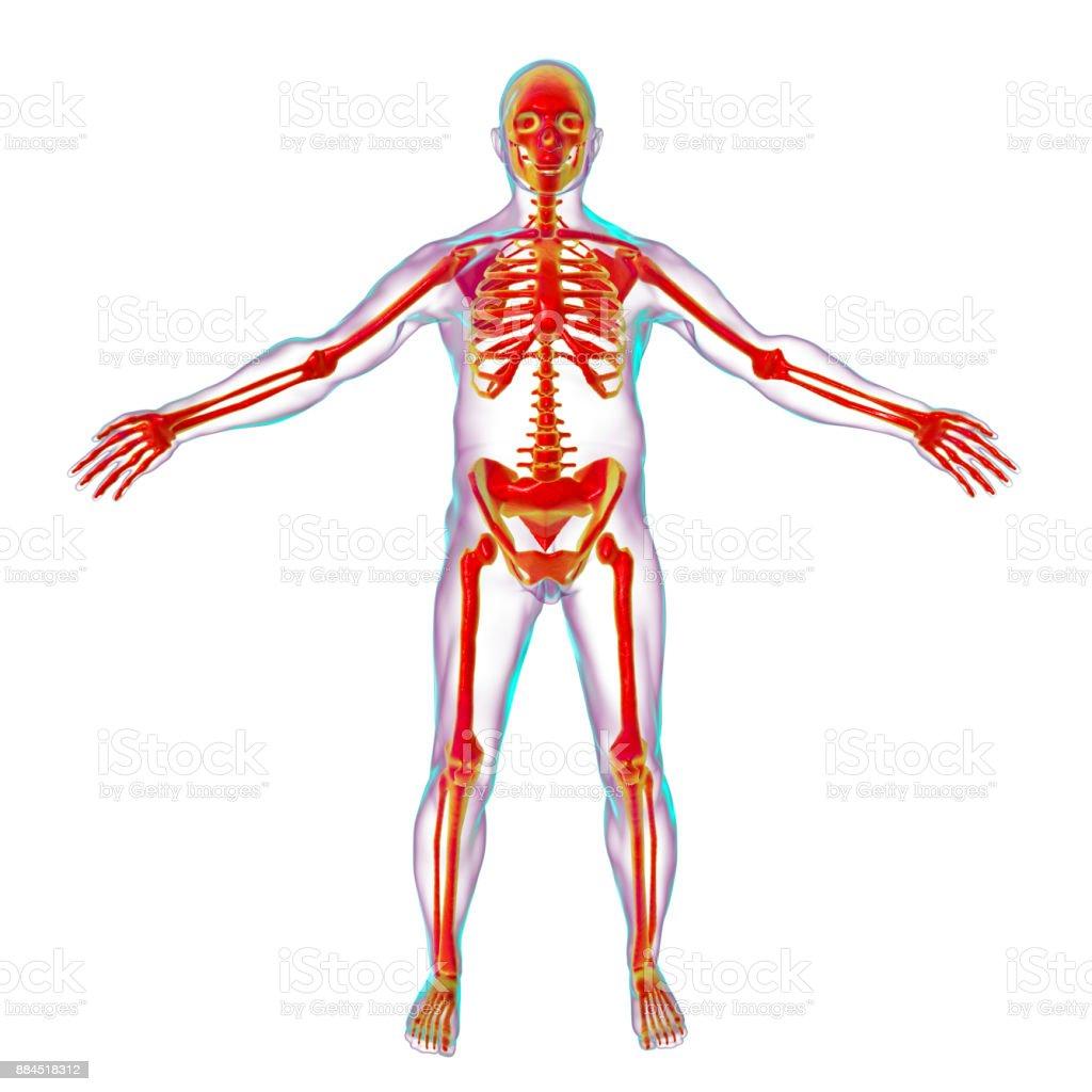 Beste Arm Skelettanatomie Bilder - Menschliche Anatomie Bilder ...