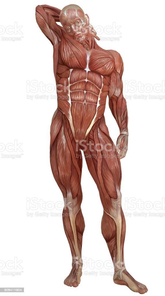 Corpo masculino sem pele msculos e anatomia 3d ilustrao isolado corpo masculino sem pele msculos e anatomia 3d ilustrao isolado no branco foto royalty ccuart Images