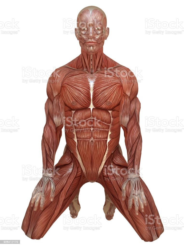 Male body without skin, anatomy and muscles 3d illustration isolated on white stock photo