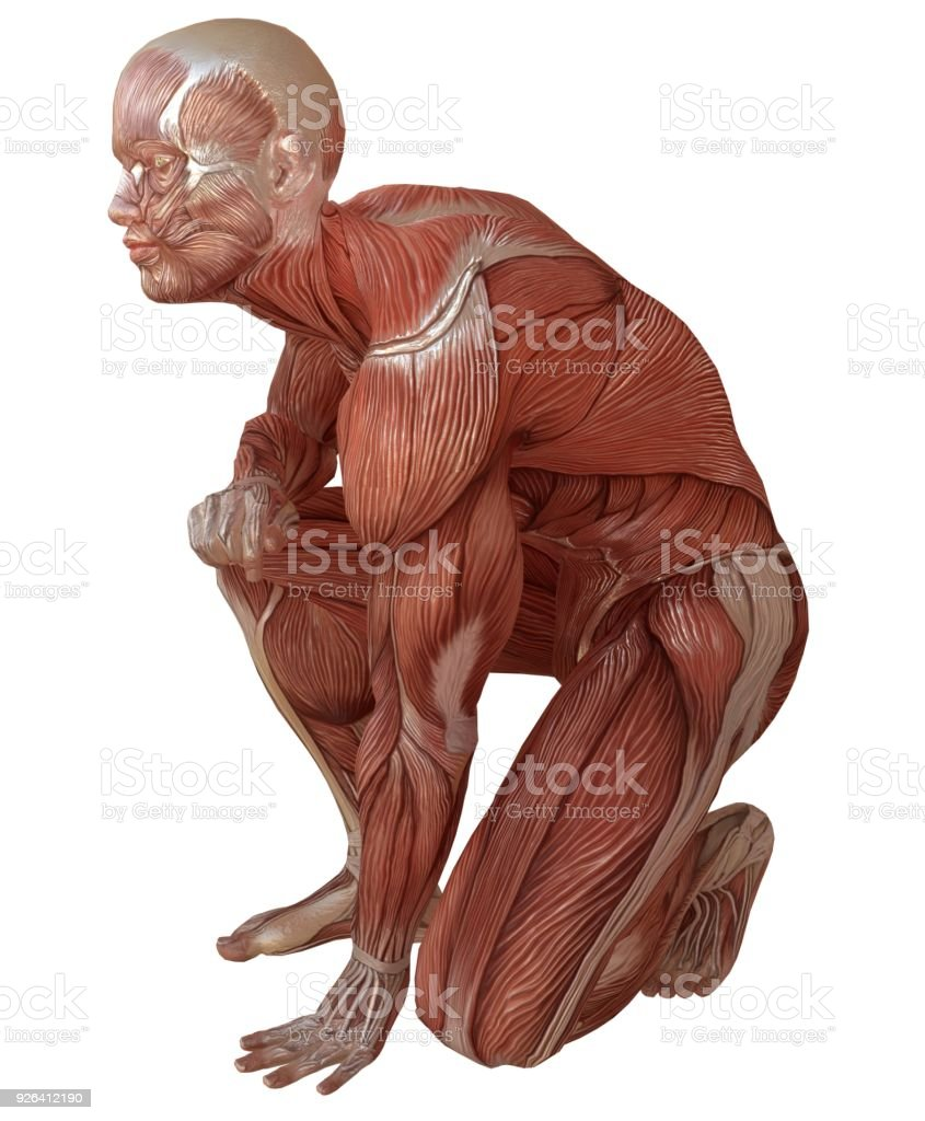 Male Body Without Skin Anatomy And Muscles 3d Illustration Isolated