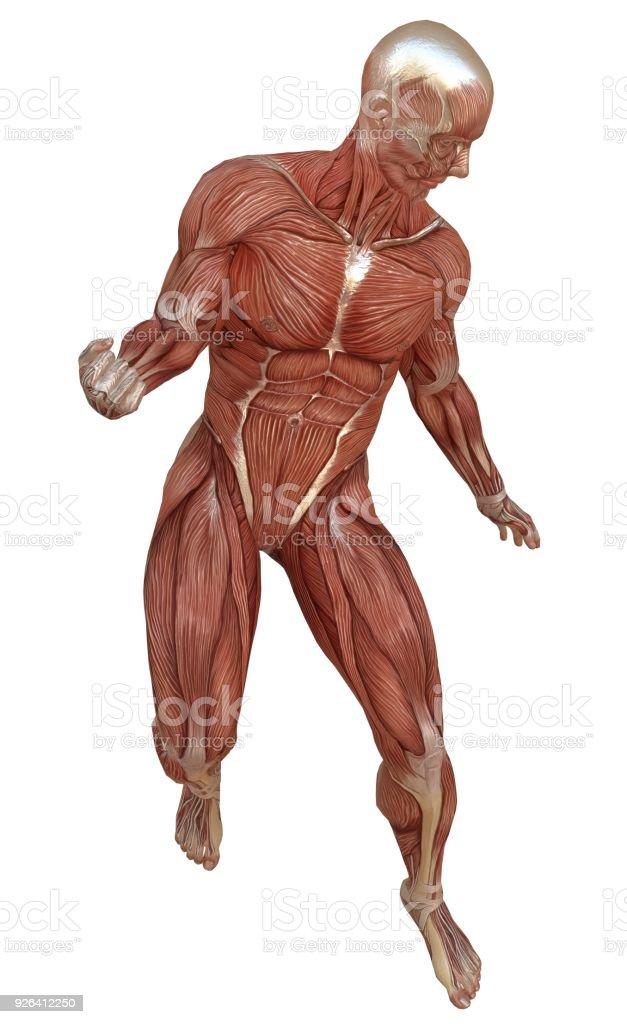 Fotografía de Cuerpo Masculino Sin Piel Anatomía Y Músculos ...