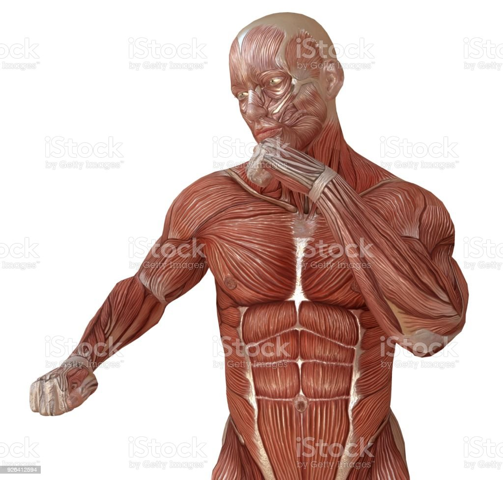 Male Body Without Skin Anatomy And Muscles 3d Illustration Isolated ...