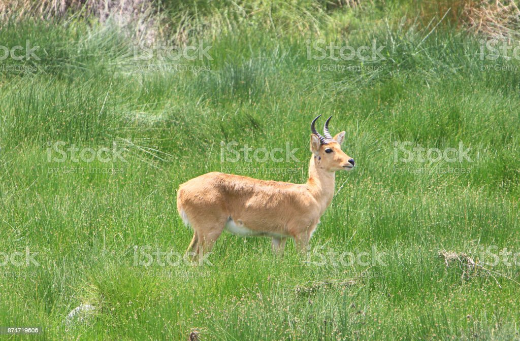 Male Bohor reedbuck in the Serengeti National Park in Tanzania. stock photo
