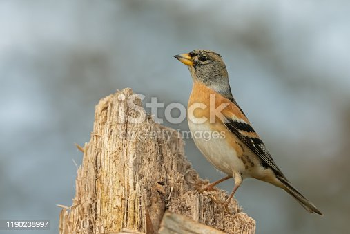 Male brambling perching on a tree stump.