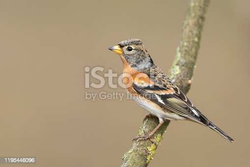 Male brambling perching on a branch.