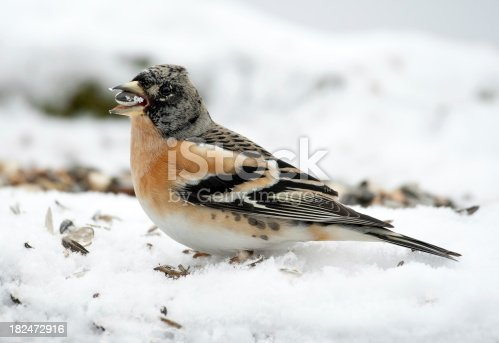 Male brambling in winter. The Brambling (Fringilla montifringilla) is a small passerine bird in the finch family Fringillidae. Canon 1D Mark III and tele.