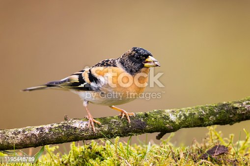Male brambling. The Brambling (Fringilla montifringilla) is a small passerine bird in the finch family Fringillidae.