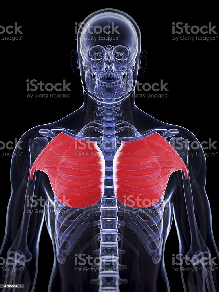 male breast muscle stock photo