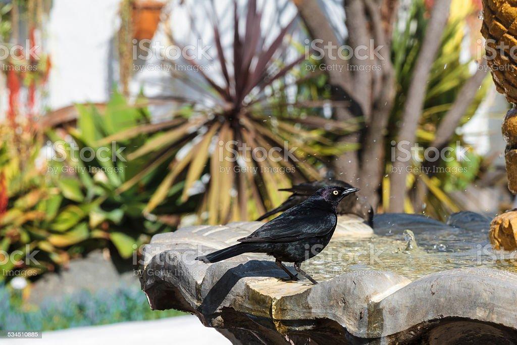 Male Brewer's Blackbird (Euphagus cyanocephalus) on Fountain stock photo