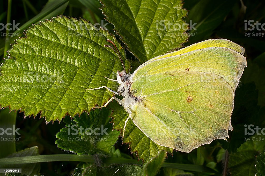 Male Brimstone butterfly on bramble leaf royaltyfri bildbanksbilder