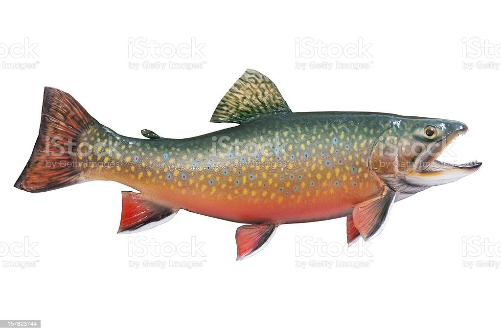 Male brook or speckled trout isolated on white stock photo