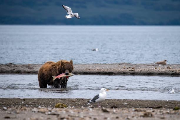 Male Brown Bear fishing salmons in Kurile Lake, Kamchatka stock photo
