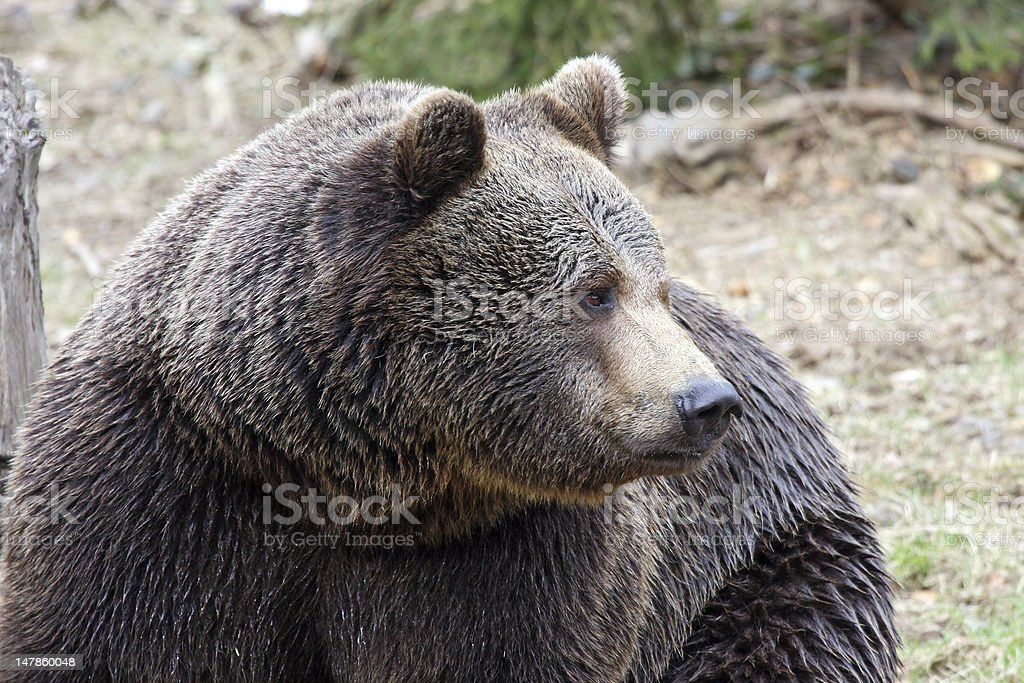 male brown bear head royalty-free stock photo