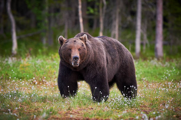 Male brown bear stock photo