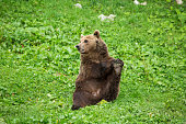 Male Brown Bear Sitting and Stretching its Leg in Green Nature Reserve