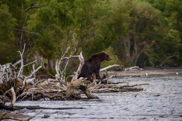 Male Brown Bear sitting at the shore of Kurile Lake, Kamchatka stock photo