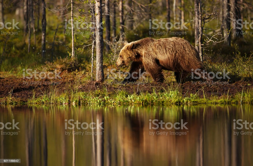 Male brown bear walking by the pond on a sunny summer day, Finland.