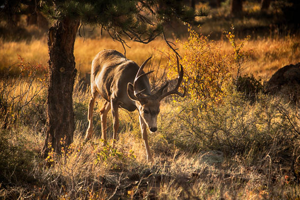 Male buck Mule Deer at Rocky Mountain National Park stock photo